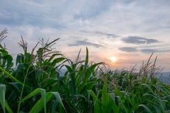 Ferme de pré de vert de champ de maïs et ciel bleu au crépuscule Image stock