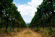 ferme de raisin Image stock