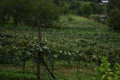 Ferme de raisin photographie stock libre de droits