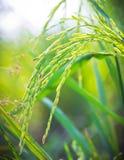 Ferme de riz de Jusmine Image stock