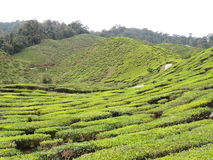 Ferme de thé à la montagne Images libres de droits