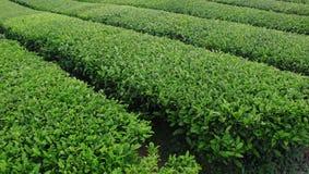 Ferme de thé Image libre de droits