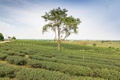 Ferme de thé Photographie stock libre de droits