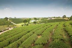 Ferme de thé avec le ciel bleu Photographie stock libre de droits