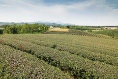 Ferme de thé avec le ciel bleu Images stock
