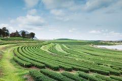 Ferme de thé avec le ciel bleu Image libre de droits