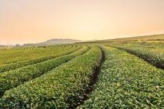 Ferme de thé vert Images stock