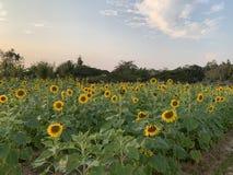 Ferme de tournesol à la science des plantes photographie stock libre de droits