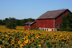 Ferme de tournesol Photos stock