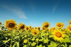 Ferme de tournesol avec la lumière de jour et le ciel bleu Photographie stock libre de droits