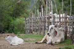 Ferme de vache en Thaïlande Photographie stock libre de droits