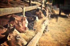 Ferme de vache où vaches mangeant le foin Photo stock