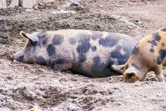 Ferme des porcs : mère et enfant image stock
