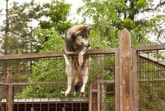 Ferme enrouée Chien se reposant sur la barrière Photos stock