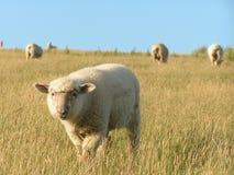 Ferme et moutons de la Nouvelle Zélande Image libre de droits