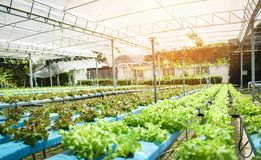 Ferme hydroponique croissante de jardin de jeune et fraîche salade verte de laitue et de chêne rouge image stock