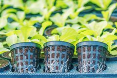 Ferme hydroponique de laitue Pousses de laitue Jeunes usines vertes de laitue Jeunes plantes de laitue Jeunes plantes de ressort image stock