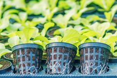 Ferme hydroponique de laitue Pousses de laitue Jeunes usines vertes de laitue Jeunes plantes de laitue Jeunes plantes de ressort photographie stock libre de droits
