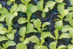 Ferme hydroponique de laitue Pousses de laitue Jeunes usines vertes de laitue Jeunes plantes de laitue Jeunes plantes de ressort image libre de droits