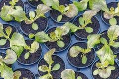 Ferme hydroponique de laitue Pousses de laitue Jeunes usines vertes de laitue Jeunes plantes de laitue Jeunes plantes de ressort photos libres de droits