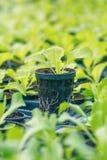 Ferme hydroponique de laitue Pousses de laitue Jeunes usines vertes de laitue Jeunes plantes de laitue Jeunes plantes de ressort photographie stock