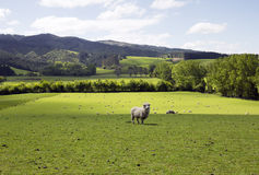 Ferme immaculée pour les moutons de alimentation Photos stock