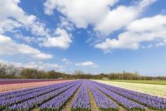 Ferme multi néerlandaise de bullb de hyacinthe de couleurs Image libre de droits