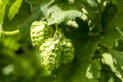 Ferme organique d'houblon pour la bière de brassage photos stock