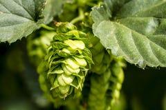 Ferme organique d'houblon pour la bière de brassage images libres de droits