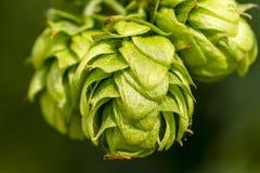 Ferme organique d'houblon pour la bière de brassage photographie stock
