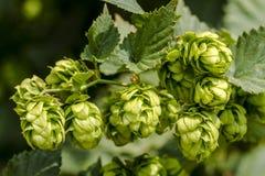 Ferme organique d'houblon pour la bière de brassage image libre de droits