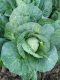 Ferme organique de légumes Images stock