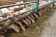Ferme pour l'élevage de moutons Photo stock