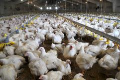 Ferme pour les poulets à rôtir croissants photos libres de droits