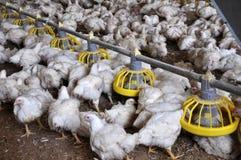 Ferme pour les poulets à rôtir croissants photographie stock