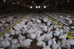 Ferme pour les poulets à rôtir croissants images libres de droits