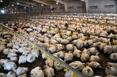 Ferme pour les poulets à rôtir croissants image libre de droits
