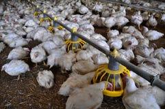 Ferme pour les poulets à rôtir croissants images stock