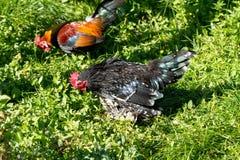 Ferme rurale Poules décoratives dans la cour de volaille Dans le plumage coloré images libres de droits