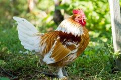 Ferme rurale Poules décoratives dans la cour de volaille Dans le plumage coloré photo libre de droits