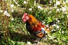 Ferme rurale Poules décoratives dans la cour de volaille Dans le plumage coloré photos libres de droits