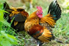 Ferme rurale Poules décoratives dans la cour de volaille Dans le plumage coloré image stock