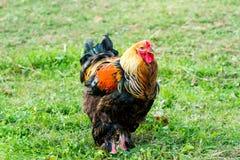 Ferme rurale Poules décoratives dans la cour de volaille Dans le plumage coloré image libre de droits