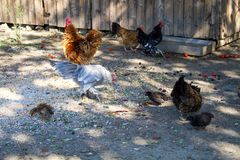 Ferme rurale Poules décoratives dans la cour de volaille Dans le plumage coloré photos stock