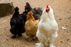 Ferme rurale Poules décoratives dans la cour de volaille Dans le plumage coloré photographie stock libre de droits