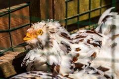 Ferme rurale Poules décoratives dans la cour de volaille Dans le plumage coloré photographie stock