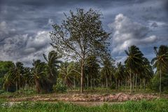 Ferme suburbaine de noix de coco en Thaïlande Photographie stock libre de droits