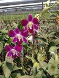 Ferme thaïlandaise d'orchidées Image libre de droits