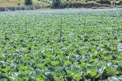 Ferme végétale de champ de chou Photographie stock
