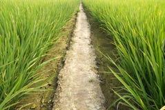 Ferme verte de riz Photographie stock libre de droits